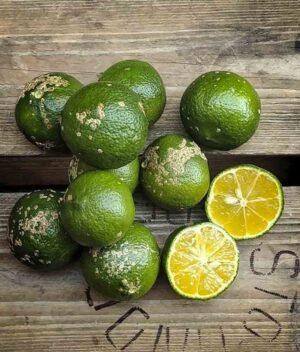 limão bergamota orgânico